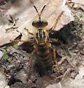 Ceraturgus aurulentus - female