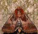 arcigera flower moth - Schinia arcigera
