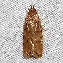 Antaeotricha unipunctella, Hodges #1013 ? - Autosticha kyotensis