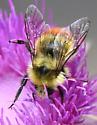 Great Basin Bumble Bee? - Bombus