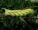 Hornworm ID? - Manduca rustica