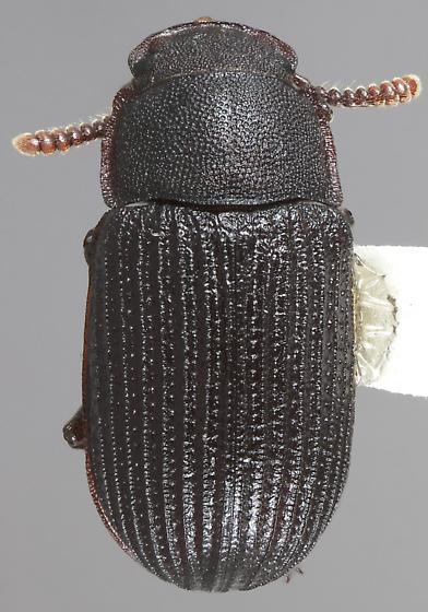 Eleates occidentalis - female