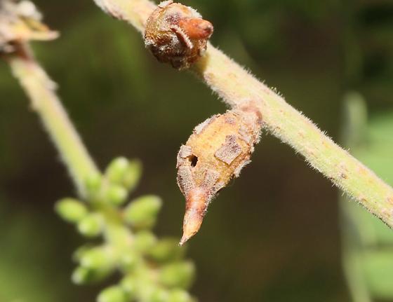 Mesquite Gall - Asphondylia prosopidis