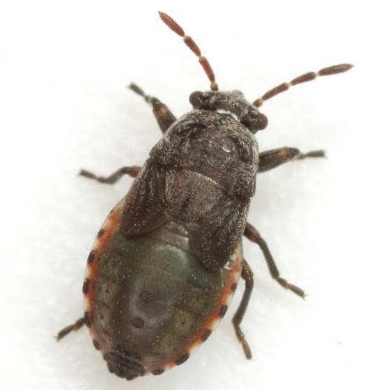 Phlegyas abbreviatus (Uhler) - Phlegyas abbreviatus
