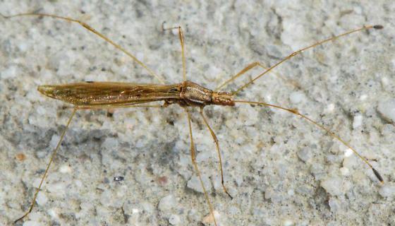 bug120516 - Jalysus wickhami
