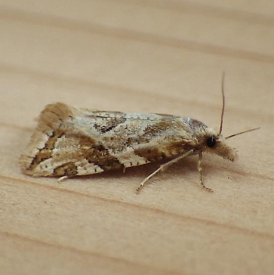 Tortricidae: Aethes sexdentata - Aethes sexdentata