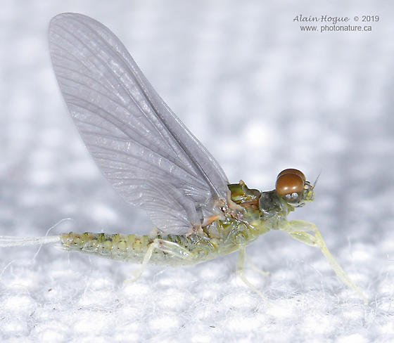 Ephemeroptera - Ephemerella aurivillii