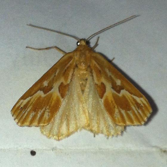 Unid moth - Caripeta piniata - female
