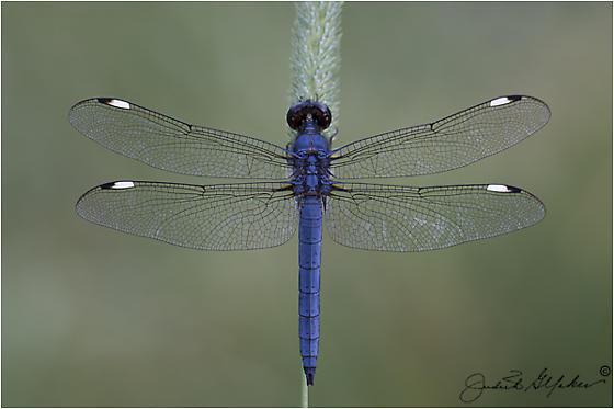JGY36843 - Spangled Skimmer - Male - Libellula cyanea - male