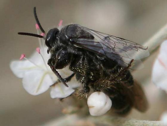 Tiphiid wasps? - Paratiphia - male - female
