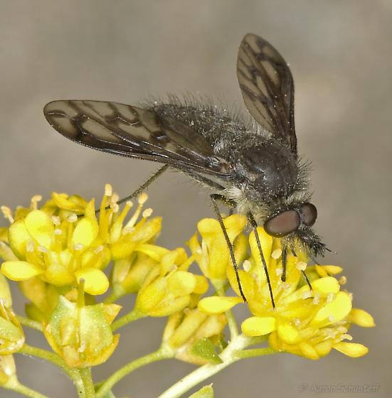 Conophorus fenestratus from southwestern edge of the Mojave - Conophorus fenestratus - male