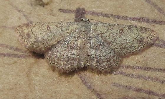 lepidoptera - Cyclophora nanaria - female