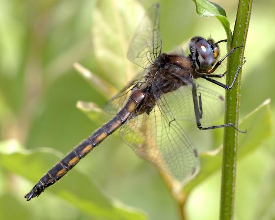 Spiny Baskettail  - Epitheca spinigera - male