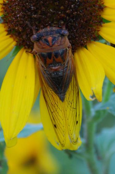 Cicada on sunflower - Neotibicen auriferus
