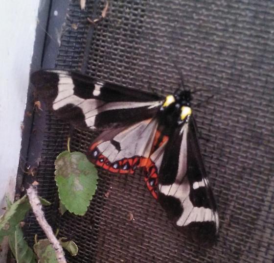Giant Flag Moth - howardi or mariamne? - Dysschema howardi