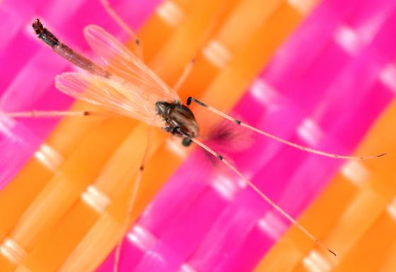 black-kneed midge - Microtendipes - male