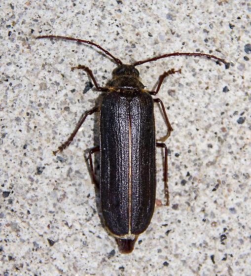 long-horned beetle - Tragosoma harrisii