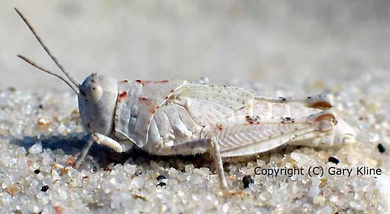 Beach Grasshopper - Trimerotropis maritima - female