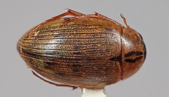 Another Dytiscid - Berosus ordinatus