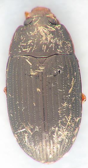 Teneb - Platydema flavipes