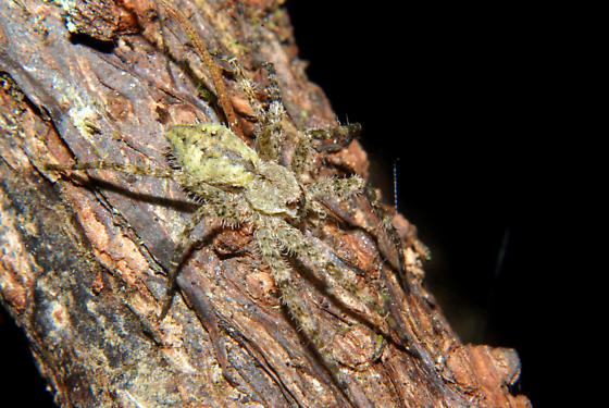 Spider - Dolomedes albineus