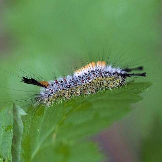 Beautiful Caterpillar  - Orgyia pseudotsugata