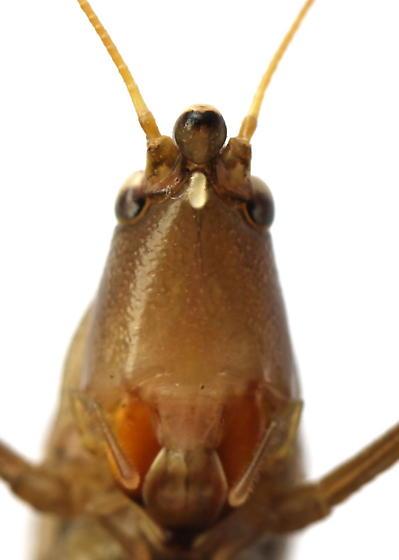 Neoconocephalus retusus - male