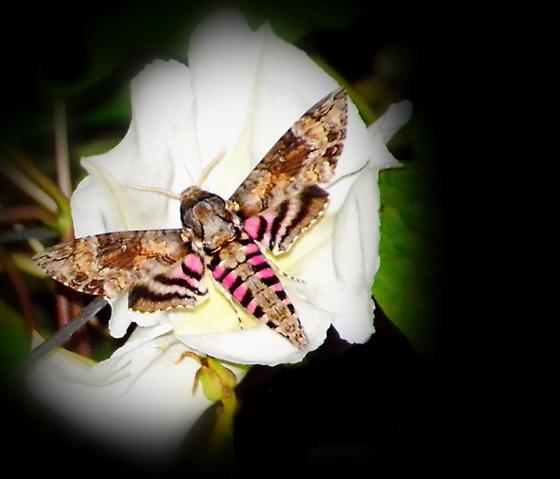 Sphinx Moths - Agrius cingulata