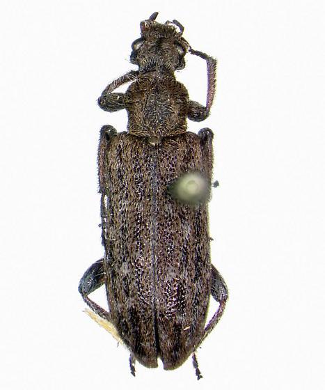 Eurygenius wildii - Retocomus wildii