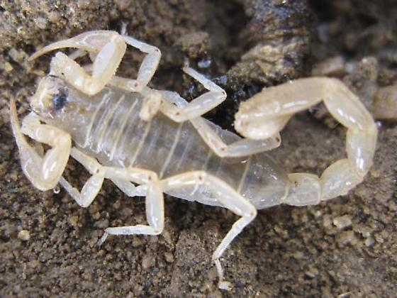 found this scorpion in the Mojave desert, do anyone know which scorpion it is? - Paruroctonus