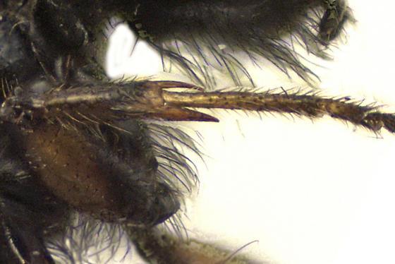 March fly - Bibio xanthopus - male