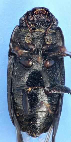 4-spotted - Glischrochilus quadrisignatus