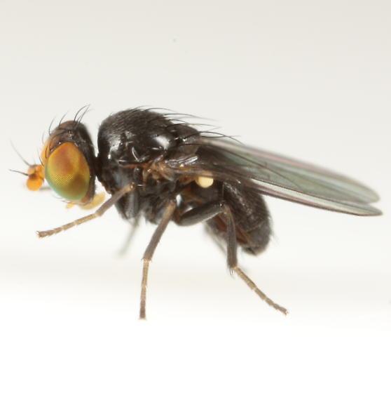 Agromyza fission - male