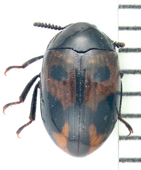 Tenebrionidae, dorsal - Diaperis maculata