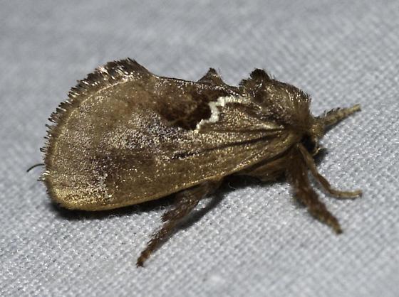 brown with a lightning bolt - Euclea obliqua