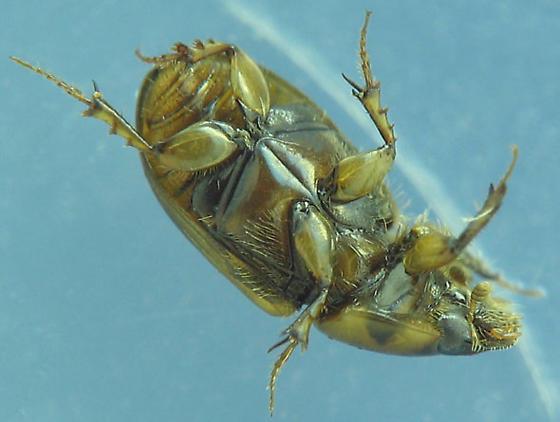 ventral views, dark-sutured aphodiine dung beetle - Labarrus lividus