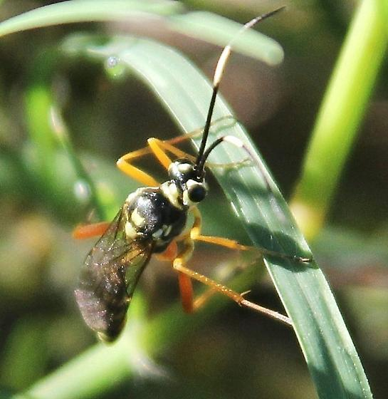 wasp ? - male