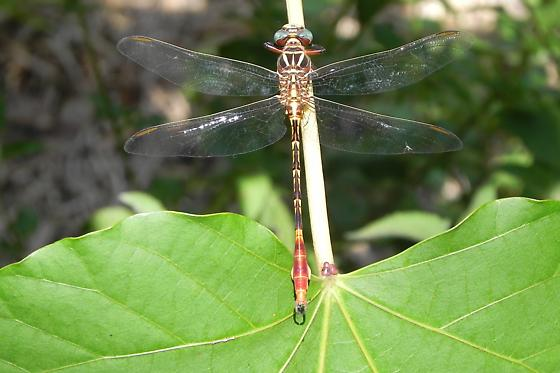 TX Dragonfly Species? - Aphylla angustifolia - male