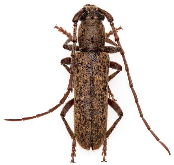 Anelaphus brevidens? - Anelaphus brevidens