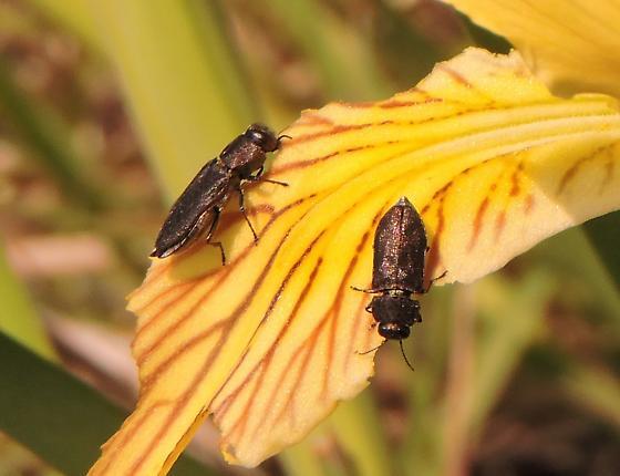 beetles on Iris chrysophylla - Anthaxia