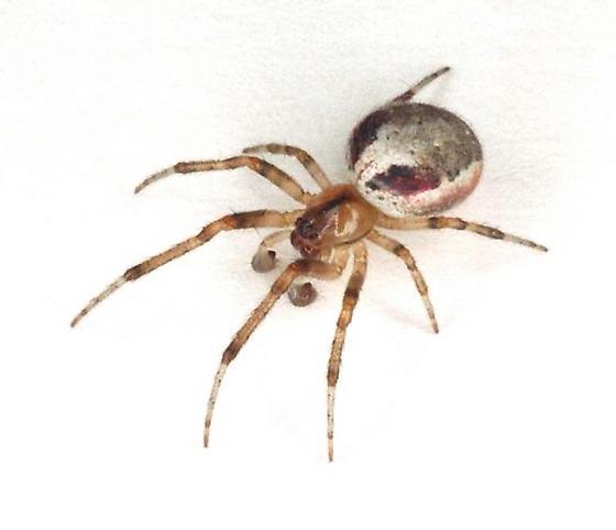 Zygiella atrica - male