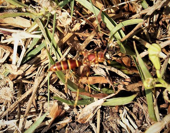 Paper Wasp Polistes sp.?