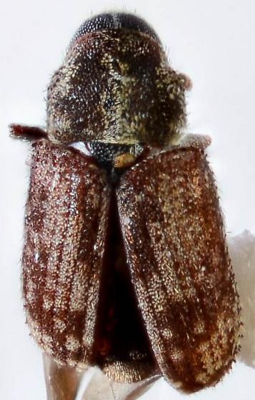 Pseudohylesinus? - Pseudohylesinus
