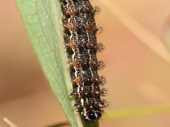 Caterpillar - Phyciodes tharos