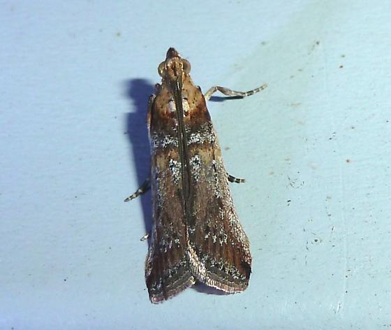 unknown moth - Adelphia petrella