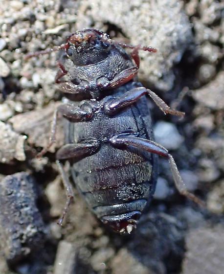 Beetle - Blapstinus brevicollis