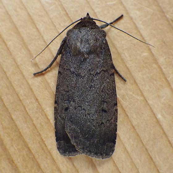 Noctuidae: Graphiphora augur - Graphiphora augur