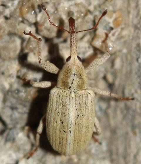 Anthonomus sphaeralciae