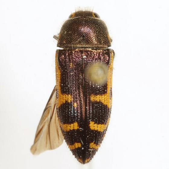 Acmaeodera pulchella (Herbst) - Acmaeodera pulchella