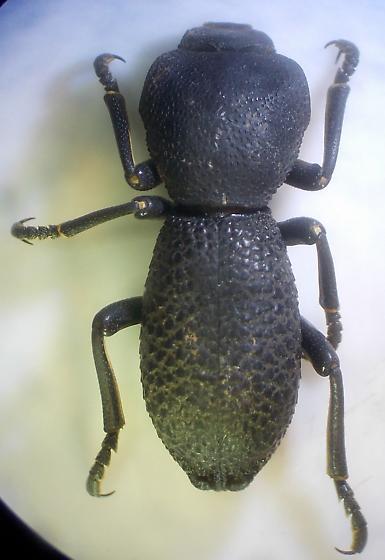 Darkling Beetle - Zopherus